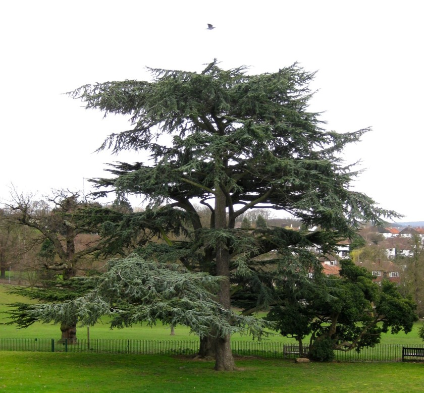 Tree, Streatham Common